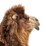 Портрет верблюда на белой предпосылке Стоковая Фотография RF