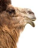 Портрет верблюда на белой предпосылке Стоковые Изображения
