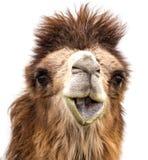 Портрет верблюда на белой предпосылке Стоковое Изображение