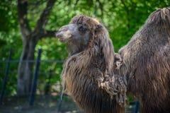 Портрет верблюда на зоопарке Стоковая Фотография RF