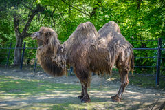 Портрет верблюда на зоопарке Стоковая Фотография