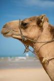Портрет верблюда на пляже в Марокко Стоковое фото RF