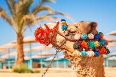 Портрет верблюда на пляже Hurghada Стоковая Фотография