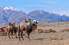 Портрет верблюда пасет горы Стоковые Фото