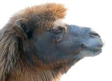 Портрет верблюда Стоковая Фотография