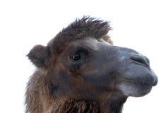 Портрет верблюда Стоковое Изображение RF