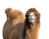 Портрет верблюда Стоковая Фотография RF