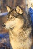 Портрет вертикали волка тимберса Стоковое фото RF