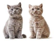 Портрет великобританских котят Стоковое Фото