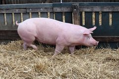 Портрет взгляда со стороны пинка покрасил хавронью свиньи Стоковая Фотография RF