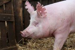 Портрет взгляда со стороны пинка покрасил хавронью свиньи Стоковое Фото