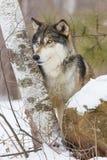 Портрет взгляда со стороны волка тимберса Стоковое Изображение