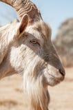 Портрет взгляда со стороны козы Saanen Стоковые Изображения
