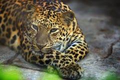 Портрет взрослого женского леопарда отдыхает стоковое изображение