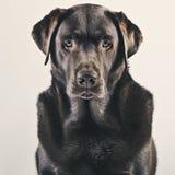 Портрет взрослого шоколада Лабрадора Стоковые Фото