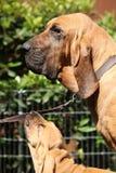 Портрет взрослого bloodhound с щенком Стоковые Изображения RF