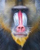 Портрет взрослого mandrill Стоковые Изображения RF