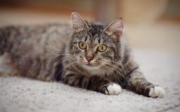 Портрет внимательного striped кота с желтыми глазами Стоковые Изображения RF