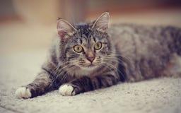 Портрет внимательного striped кота с желтыми глазами Стоковое Изображение