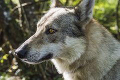 Портрет волка в лесе Стоковое Фото