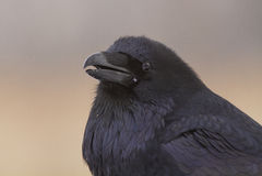 Портрет ворона Стоковая Фотография RF