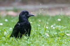 Портрет вороны мяса - corone Corvus - в траве стоковая фотография