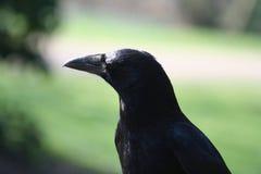портрет вороны corvus corone Стоковые Фото