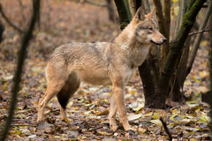 Портрет волка в лесе осени Стоковые Фото