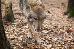 Портрет волка в лесе осени Стоковое Фото
