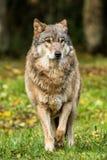 Портрет волка в лесе осени Стоковая Фотография