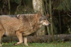 Портрет волка в лесе осени Стоковое Изображение