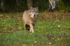 Портрет волка в лесе осени Стоковые Изображения