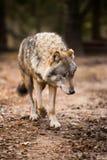 Портрет волка в лесе осени Стоковое Изображение RF