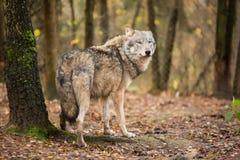 Портрет волка в лесе осени Стоковая Фотография RF