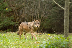 Портрет волка в лесе осени Стоковые Фотографии RF