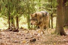 Портрет волка в лесе осени Стоковые Изображения RF