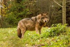 Портрет волка в лесе осени Стоковое фото RF