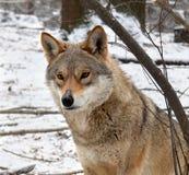 Портрет волка в зиме Стоковые Фото