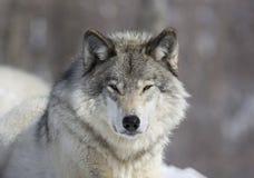 портрет волка Стоковое Изображение RF