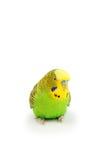 Портрет волнистого попугайчика Стоковое фото RF