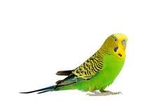 Портрет волнистого попугайчика Стоковая Фотография RF
