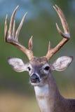 Портрет высокорослого типичного самца оленя whitetail Стоковые Фото