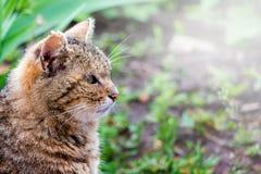 Портрет в профиле профиля конца-вверх коричневого striped кота Стоковые Фотографии RF