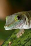 Портрет гекконовых Стоковые Фотографии RF