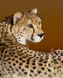 портрет гепарда Африки южный стоковые изображения