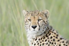 Портрет гепарда на саванне, Masai Mara, Кении Стоковое Изображение RF