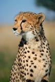портрет гепарда Стоковое Фото