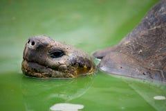 Портрет гигантских черепах острова galapagos океан pacific эквадор Стоковое Изображение RF