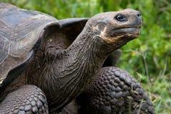 Портрет гигантских черепах острова galapagos океан pacific эквадор Стоковое Фото