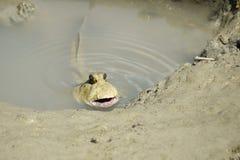 Портрет гигантского шкипера грязи стоковые изображения